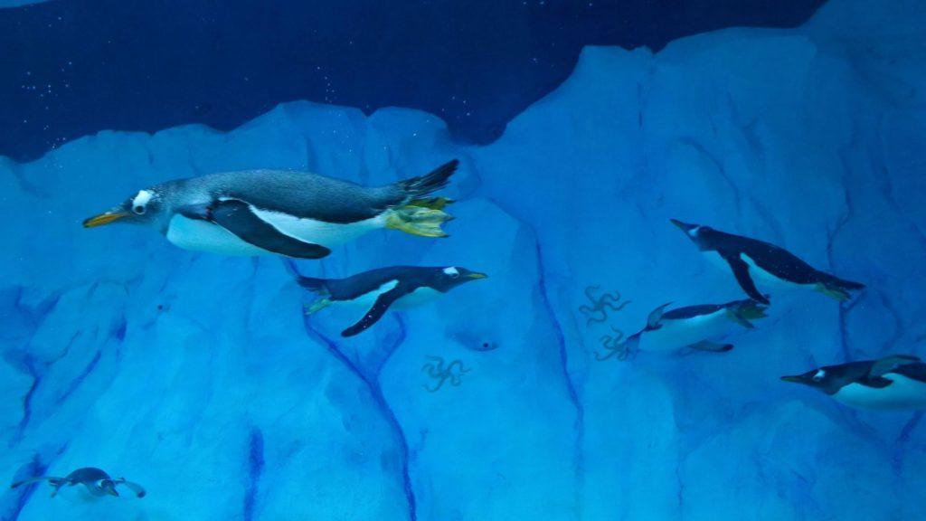 Pingüinos con GoPro: científicos logran colocar cámaras para observar su comportamiento