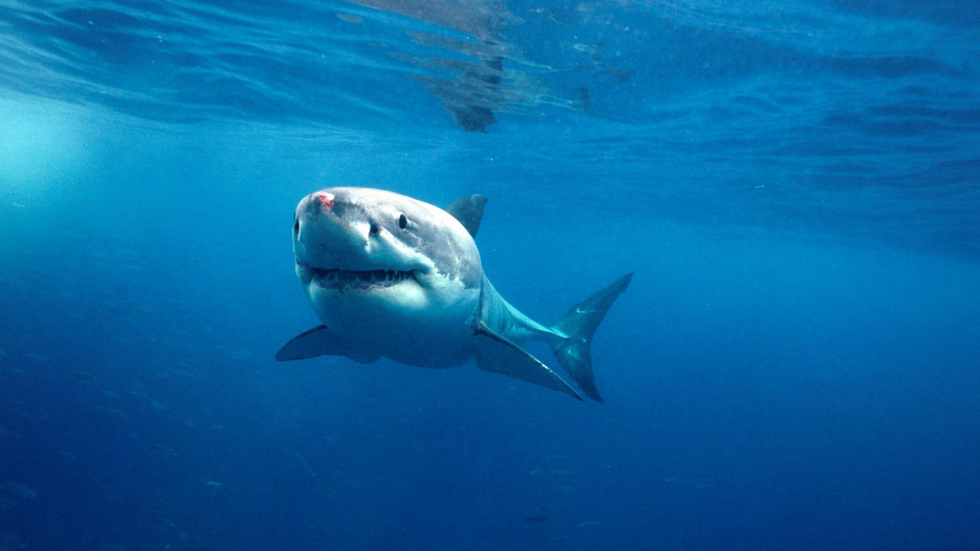 Australia nos cuidará de los tiburones con drones en las playas