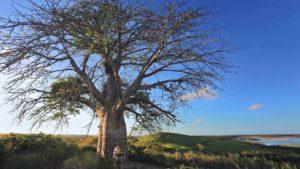 Este es el árbol de 4,5 metros de diámetro en Porto de Galinhas en Brasil