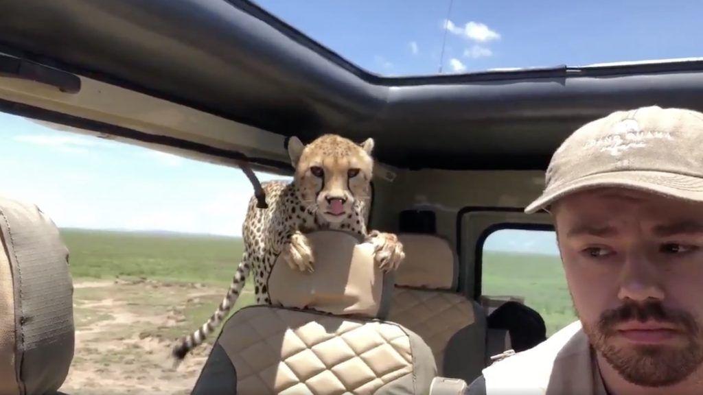 El video de un guepardo metiéndose dentro de una 4×4 en un safari por África