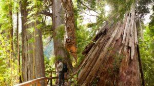 Este es el árbol de 2600 años en el Parque Nacional Los Alerces