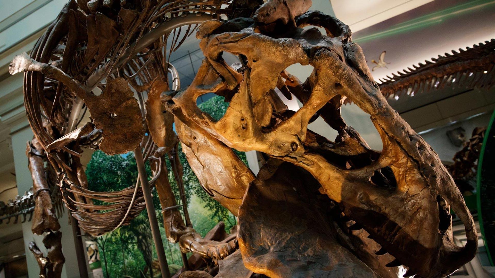 El museo Smithsonian sumó el esqueleto real de un Tyrannosaurus Rex