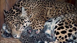 Así protegen a los yaguaretés de su extinción en Argentina