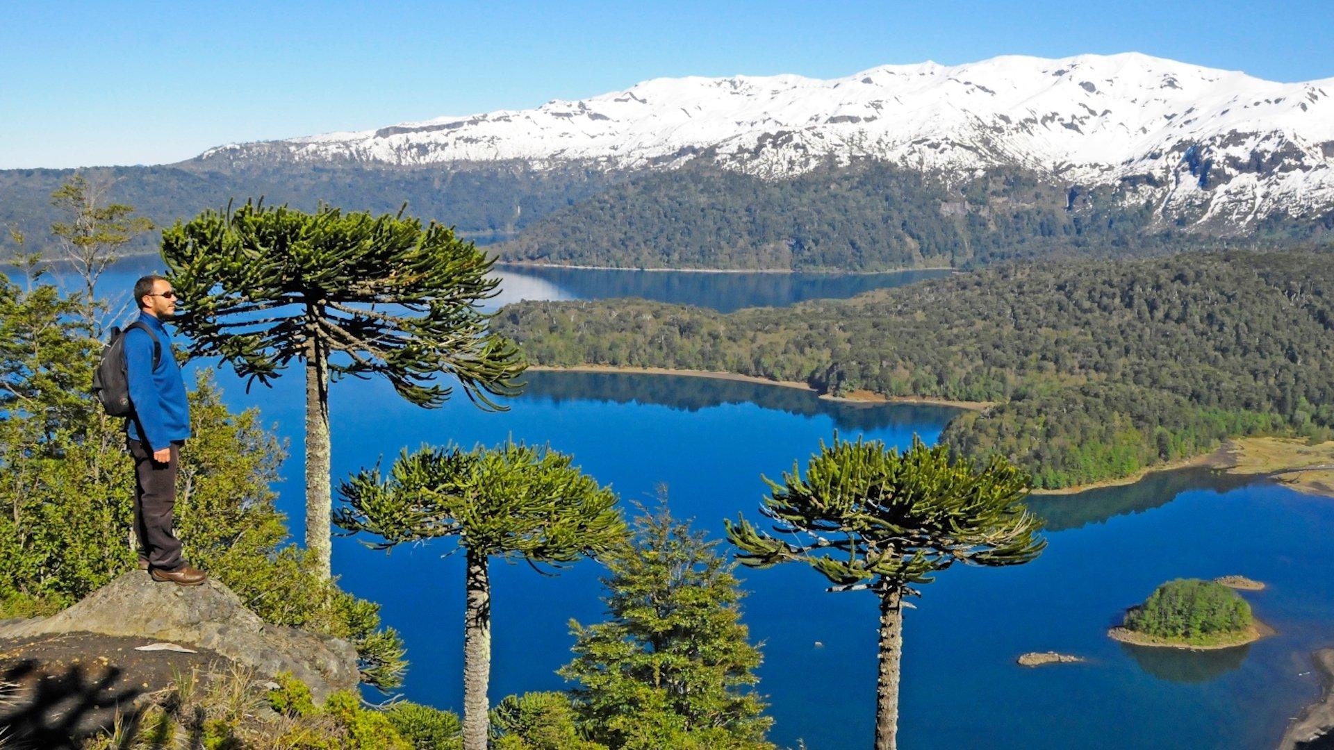 Así es Araucaria, el árbol nacional de Chile