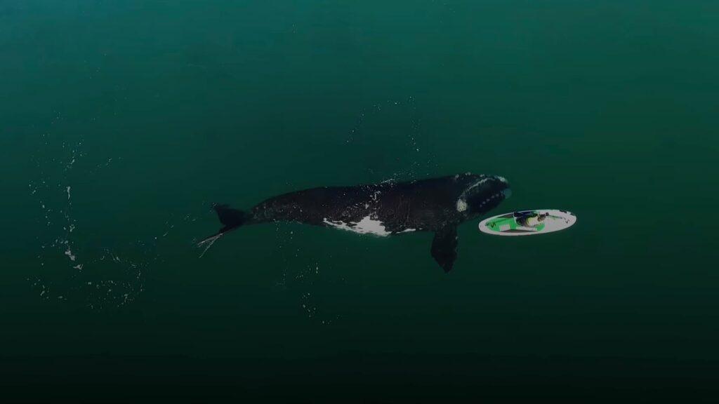 El mejor video de las ballenas en Puerto Madryn en la Patagonia argentina